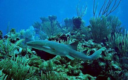 Nurse Shark in Belize