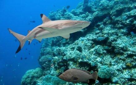 Reef Shark in Belize