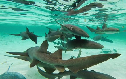 Swimming with Sharks Belize